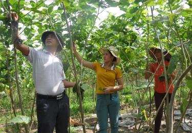 Bí thư Chi bộ kiêm Trưởng thôn Liên Hợp - Hà Minh Hào tiên phong trong thực hiện mô hình phát triển kinh tế trồng dâu nuôi tằm.