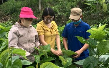 Lãnh đạo xã Sơn Lương, huyện Văn Chấn kiểm tra sinh trưởng của cây dâu.