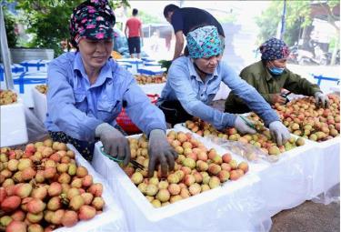 Đóng thùng xốp bảo quản sản phẩm vải chín sớm xuất khẩu ở một cơ sở thu mua tại xã Thanh Quang (huyện Thanh Hà, tỉnh Hải Dương).