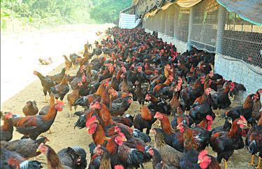 Mô hình chăn nuôi gà thả vườn của gia đình chị Hoàng Thị Thúy thôn Hiển Dương, xã Cường Thịnh, huyện Trấn Yên.