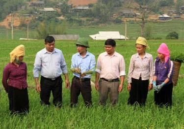 Cán bộ Phòng Nông nghiệp -Phát triển nông thôn huyện Trạm Tấu trực tiếp xuống tận chân ruộng hướng dẫn kỹ thuật chăm sóc lúa cho người dân xã Hát Lừu. (Ảnh: Văn Tuấn)