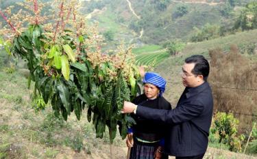 Bí thư Huyện ủy Mù Cang Chải Nông Việt Yên kiểm tra mô hình trồng xoài tại xã Lao Chải.