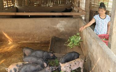 Pig raising farm of Hoang Dinh Van in Luu 2 hamlet proves effective.