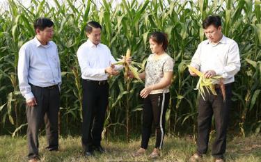 Lãnh đạo huyện Văn Yên kiểm tra mô hình ngô đông trên đất 2 vụ lúa tại xã Đại Phác.