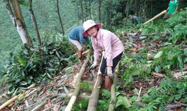 Nông dân xã Đào Thịnh thu hoạch quế hữu cơ.