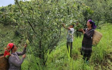 Nông dân xã Nậm Khắt, huyện Mù Cang Chải thu hái quả sơn tra.