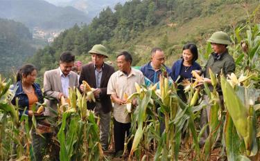 Lãnh đạo huyện Trạm Tấu cùng bà con tham quan mô hình trình diễn giống ngô lai chịu hạn LVN17 và LVN092 tại xã Xà Hồ.