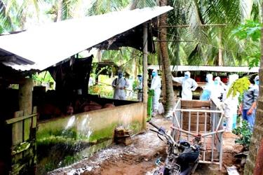 Ngành chức năng tiến hành tiêu hủy toàn bộ đàn lợn bị nhiễm dịch tả heo châu Phi của gia đình ông Nguyễn Văn Tiễn