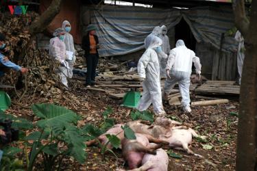Dịch tả lợn châu Phi đang xảy ra tại 48 xã, 8/8 huyện, thành phố của tỉnh Lai Châu.