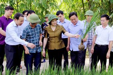 Đồng chí Bí Thư Tỉnh ủy, Chủ tịch HĐND tỉnh Phạm Thị Thanh Trà cùng các đồng chí lãnh đạo huyện Trạm Tấu kiểm tra mô hình trồng lúa nếp 87 tại xã Hát Lừu