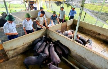 Đến nay, nhiều hộ nông dân trên địa huyện Trạm đã tập trung chăn nuôi lợn với quy mô hàng trăm con/lứa. (ảnh Văn Tuấn)