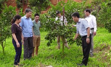 Huyện Trấn Yên đang tập trung phát triển vùng cây ăn quả và hiện có trên 762 ha, mang lại hiệu quả kinh tế cao.