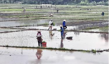 Nông dân xã Minh Quân, huyện Trấn Yên gieo cấy lúa mùa.