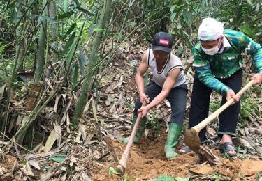 Trưởng thôn Giàng A Sáu (bên phải) hướng dẫn người dân chăm sóc tre măng  Bát độ.