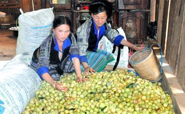 Đồng bào Mông huyện Mù Cang Chải phân loại quả sơn tra.