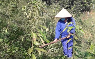 Vu Thi Mai Huong, a trade union member from Phu Lan village, Viet Thanh commune, plants cinnamon for economic development with loans from the district's Trade Union Social Fund.