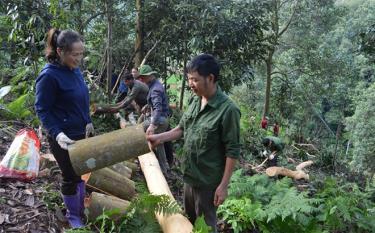 Nhân dân xã Viễn Sơn thu hoạch quế.
