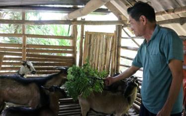 Thương binh Lương Khuyến Giang chăm sóc đàn dê.