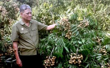 Mô hình trồng cây nhãn lùn Hưng Yên tại gia đình thương binh Vương Toàn Chất xã Lâm Giang.