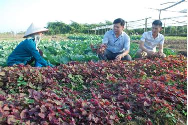 Hợp tác sản xuất rau an toàn tại xã Văn Phú, thành phố Yên Bái mang lại hiệu quả kinh tế cao.