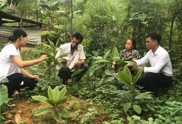 Các thành viên trong Tổ hợp tác Dược liệu Develop, xã Đào Thịnh, huyện Trấn Yên kiểm tra chất lượng cây dược liệu.