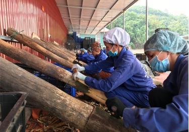Chế biến các sản phẩm quế vỏ tại Hợp Tác xã Quế hồi xã Đào Thịnh, huyện Trấn Yên.