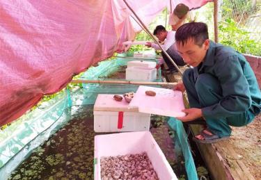 Anh Nguyễn Văn Thắng nuôi ốc nhồi mang lại hiệu quả kinh tế cao.