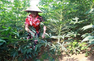Giống sắn mới từ nhiệm vụ khoa học được người dân xã Mậu Đông (Văn Yên) tiếp tục trồng và đang sinh trưởng, phát triển tốt.