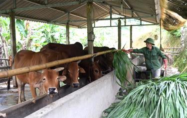 Một cơ sở chăn nuôi bò theo hình thức bán công nghiệp ở huyện Văn Yên.