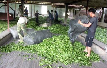 Hợp tác xã Kiến Thuận thu mua chè nguyên liệu cho người dân.