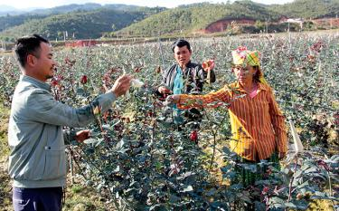 More than tens of hectares of roses in Nam Khat hamlet serve tourism and economic development.