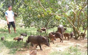 Anh Đặng Ngọc Hoàn chăm sóc đàn lợn của gia đình.