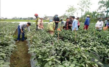 Farmers in Thanh Luong commune share experience in growing chilli for export.