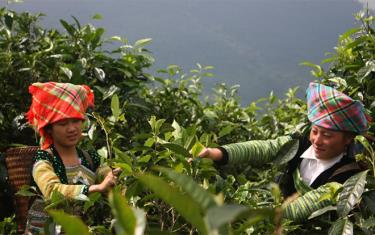 People in Giang Pang village, Sung Do commune of Van Chan district harvest Shan tuyet tea.