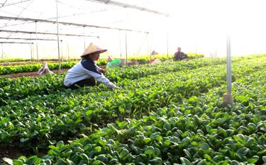 Caring for vegetables at the Minh Tien safe vegetable cooperative.