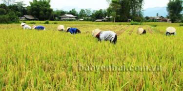 Nông dân Văn Chấn khẩn trương thu hoạch lúa mùa chuẩn bị đất làm vụ đông.