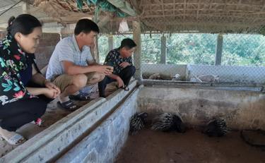 Mô hình nuôi nhím tại thôn Khe Đồng, xã Đại Lịch mang lại thu nhập cao.