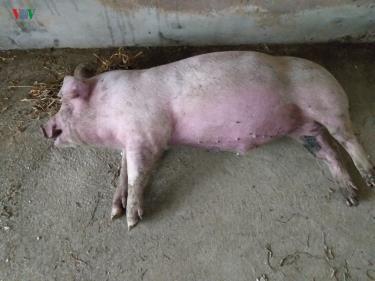 Lợn nhiễm dịch tả lợn châu Phi.