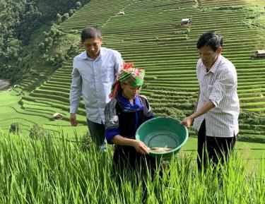 Người dân huyện Mù Cang Chải kiểm tra sinh trưởng của cá chép thả ruộng.