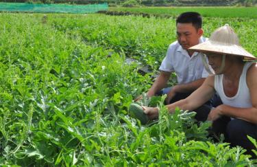 Vườn dưa hấu đang cho thu hoạch của gia đình ông Dương Đình Long, thôn Trung Tâm, xã An Bình.