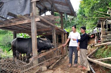 Bí thư Chi bộ thôn Nà Háng, xã Mồ Dề - Sùng A Lử (bên phải) kiểm tra khu vực chuồng trại chăn nuôi gia súc của bà con.