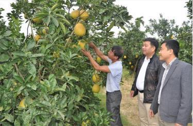 Cây ăn quả có múi là một trong những sản phẩm có thế mạnh của Yên Bái.