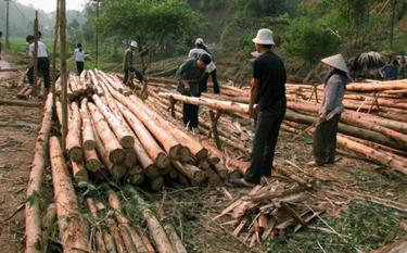 Khai thác gỗ rừng trồng ở Yên Bình. (Ảnh: nongnghiep.vn)