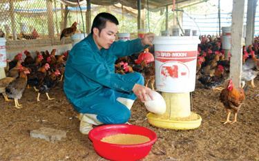 Mỗi năm, Nguyễn Tiến Thắng nuôi khoảng 1,2 vạn con gà ta lai.