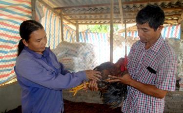 Sử dụng nguồn vốn giảm nghèo, nhiều hộ đầu tư cho chăn nuôi vươn lên thoát nghèo.