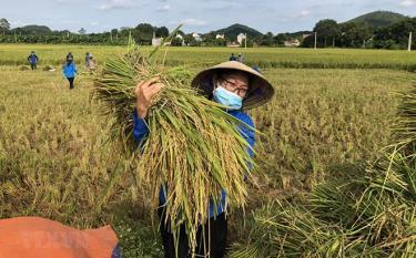 Thu hoạch lúa tại xã Vĩnh An, Thanh Hóa.