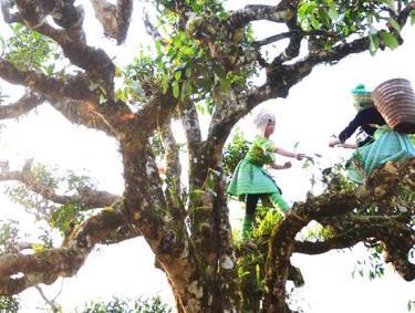 Bà con người Mông xã Sùng Đô thu hái chè Shan tuyết.  (Ảnh: T.L)