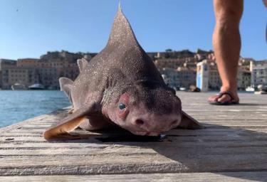 Cá mập mặt lợn được vớt lên ở biển Địa Trung Hải.