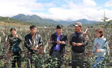 Sản xuất, kinh doanh hoa hồng ở huyện vùng cao Mù Cang Chải. (Ảnh: T.L)
