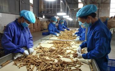 Một công đoạn trong sản xuất sản phẩm quế điếu thuốc ở Hợp tác xã Quế hồi Đào Thịnh, Trấn Yên.